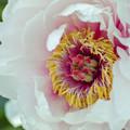 桜色の牡丹