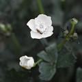 蕊も花びらも真っ白の花があるんですね