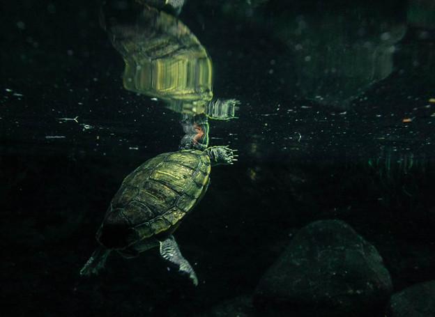 写真: 鏡の世界の遊泳