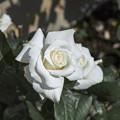 白い花の中はクリーム色