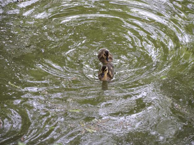 Photos: カルガモの遊泳