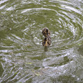 カルガモの遊泳