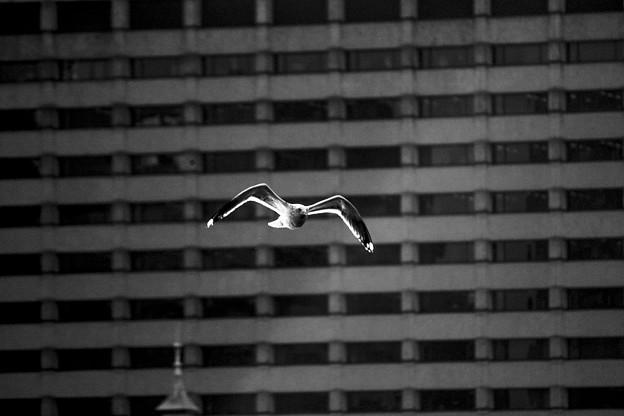 輝く、飛ぶカモメ