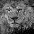 Photos: 百獣の王の風格
