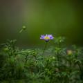 Photos: 緑の国の紫の女王