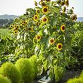 Photos: ええと向日葵ってこんな咲き方しましたっけ?