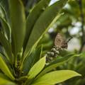 留まる蝶々@岡山県の里庄町