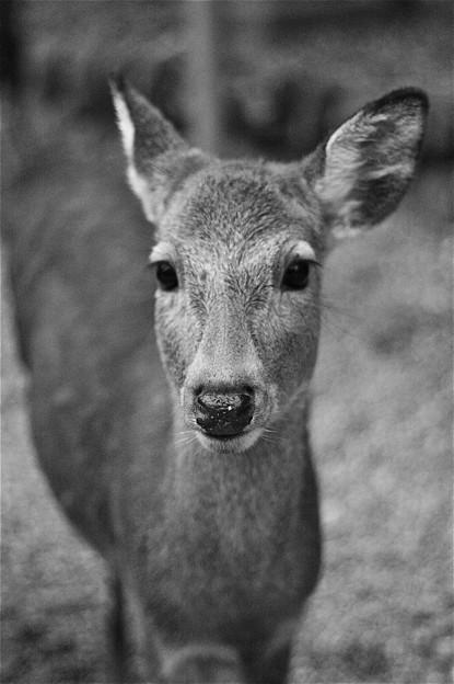 見つめられた@奈良の鹿君