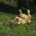 ライオンにゃん