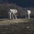 Photos: 陽光に映える白馬たち