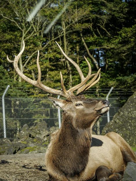薄ら笑いを浮かべる鹿(爆)