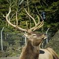 Photos: 薄ら笑いを浮かべる鹿(爆)