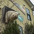 Photos: 飛び出た豚