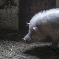 瞑想する豚