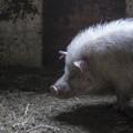 Photos: 瞑想する豚