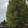 樹齢1250年を越す大銀杏@飛騨国分寺