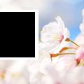 spring-sakura4