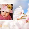 Photos: spring-sakura4-sample