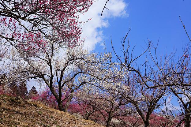 青い空と梅の花