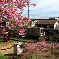 興津 東海道本線とカワヅサクラ