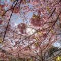 興津・不動尊踏切付近の桜(カワヅサクラ) (3) HDR