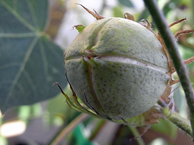 cotton08