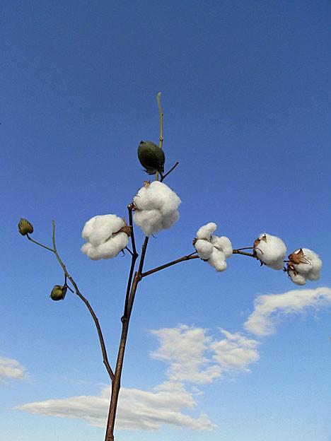 cotton14