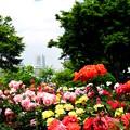 Photos: 港の見える丘公園・ローズガーデン