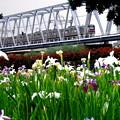 小岩菖蒲園~京成電車