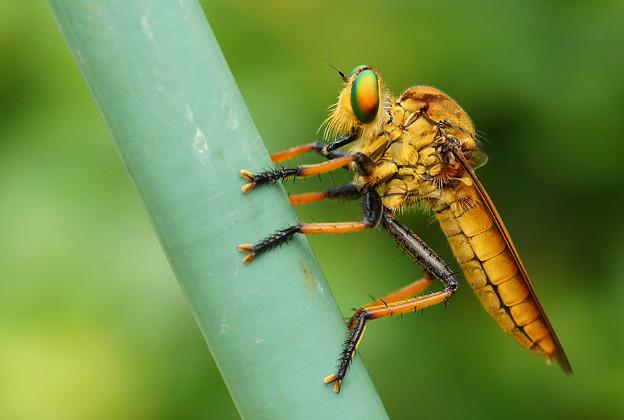 最強の吸血昆虫・・・