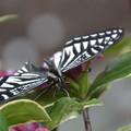 春のナミアゲハ