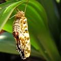 蝶 ツマグロ羽化の瞬間10