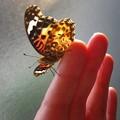 蝶と私 ツマグロ羽化の瞬間11