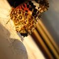 夕陽を浴びて ツマグロ羽化の瞬間12