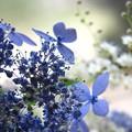紫陽花の見る夢