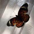 写真: 蝶のステンドグラス