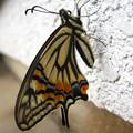 蝶になったよ! 3月アゲハ羽化
