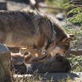Photos: 男はオオカミ