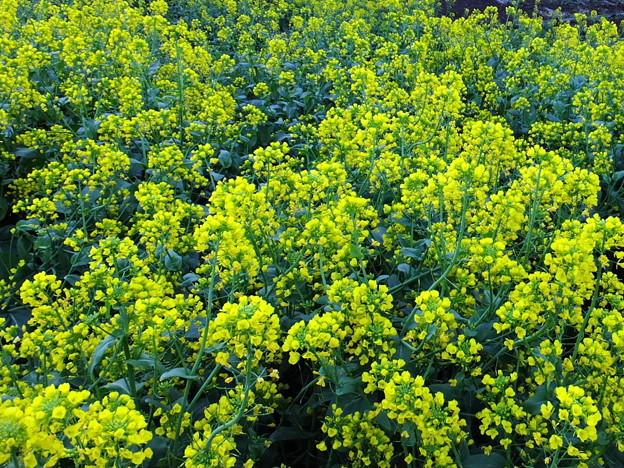 菜の花畑に入り日薄れ