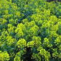 Photos: 菜の花畑に入り日薄れ