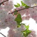 桜の通り抜け1