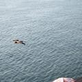 写真: かもめが飛んだ?いえ、トンビです^^