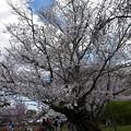 Photos: 写真00006 霊宝館に入ってすぐのソメイヨシノ
