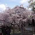 Photos: 写真00084 三宝院の枝垂桜