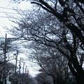 Photos: ソメイヨシノ12