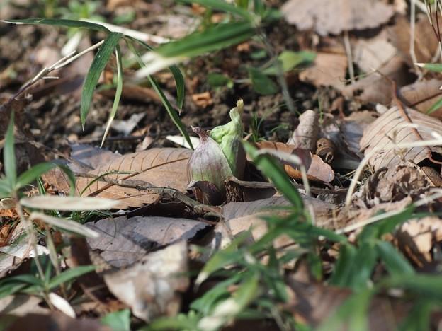 写真: P2236794蕗の薹