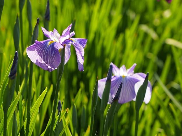 写真: P6021445花菖蒲