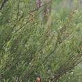 写真: P6150068カワセミとオオヨシキリ(トリミング)
