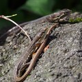写真: P6220149カナヘビ(トリミング)