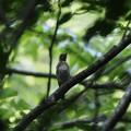 写真: P8110043オオルリ幼鳥